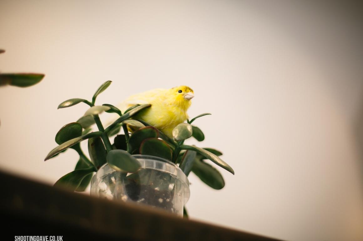 kings_canary_004